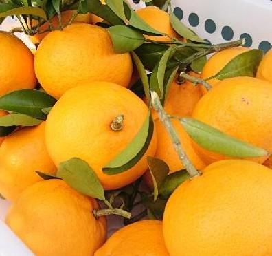 甘夏? ネイチャーセンター横の柑橘を収穫しました