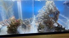 テーブル珊瑚の一部♪