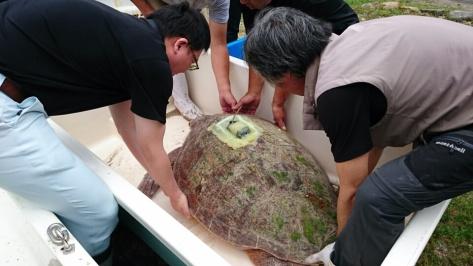 大きなアカウミガメ!