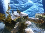 水槽で休むアカウミガメの子ガメ