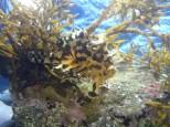 海藻に隠れるハナオコゼ