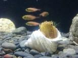 貝殻に隠れるハナオコゼ