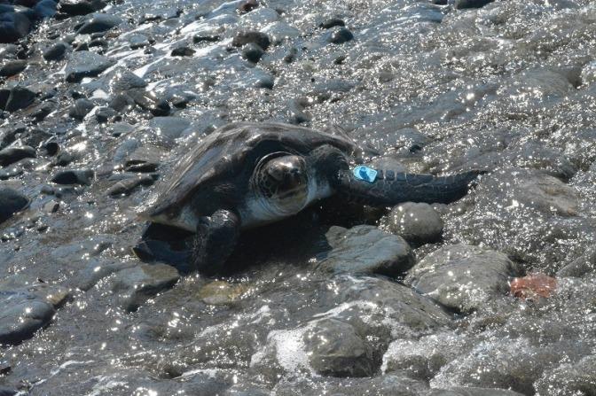 生態調査体験プログラム「ウミガメの謎?」8月21日(日)実施