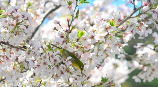 津久見市の河津桜とウミガメ