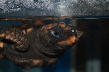アカウミガメ(目つき悪い・・・)