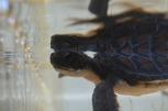 アオウミガメの子ガメ 表情まで鮮明に