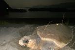 間越海岸に産卵のため上陸したアカウミガメ