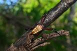 オオスミコガネグモ