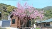 バンガロー前の満開の桃の花