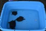 タッチ水槽ではミシシッピアカミミガメに触ることができました