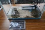 ミシシッピアカミミガメ。外来種です