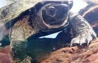 クサガメのオス。成熟すると黄色のマダラ模様が消え、全身真っ黒になる。