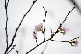10月に咲いたはざこの桜