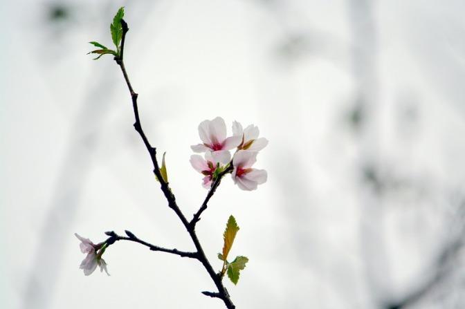 はざこも桜が・・・
