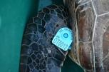 装着したタグ。どこかでまた見つけたら、連絡をください。ウミガメの生態解明に役立ちます。