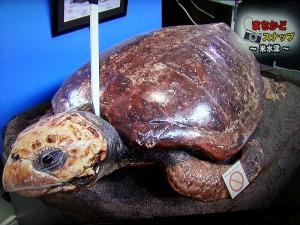 成体のウミガメの剥製