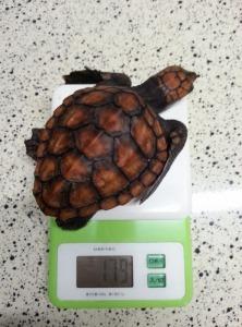 アカウミガメの体重測定