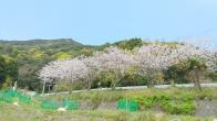 桜の下にヤギ