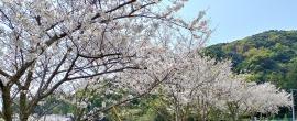 はざこの桜