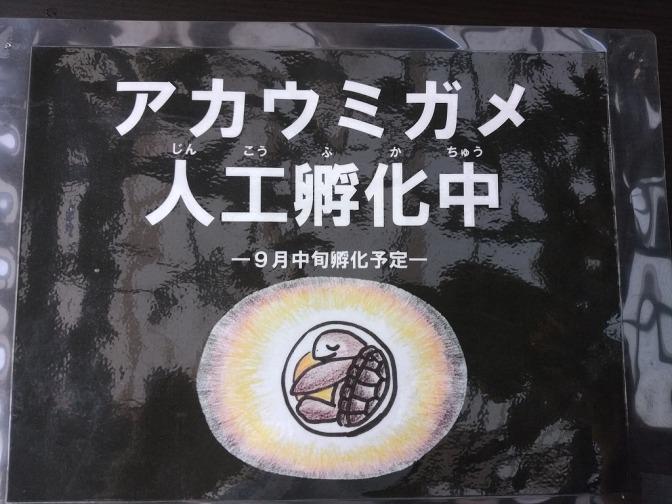 屋久島からアカウミガメの卵がきました!