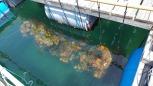 養殖しているヒオウギ貝