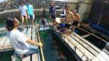 ヒオウギ貝の養殖についての説明