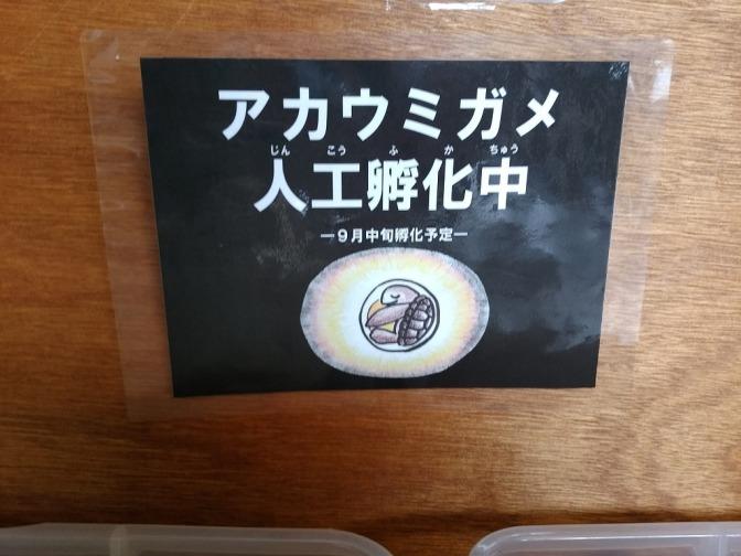 屋久島からのアカウミガメの卵。約一ヶ月が経過して…