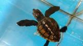 アカウミガメの子ガメ