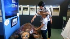 おとなのウミガメの大きさにびっくり!