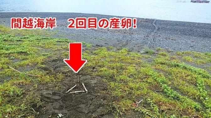 6月5日 間越海岸2回目のウミガメ産卵!