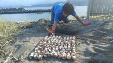 133個の卵を掘り出しました