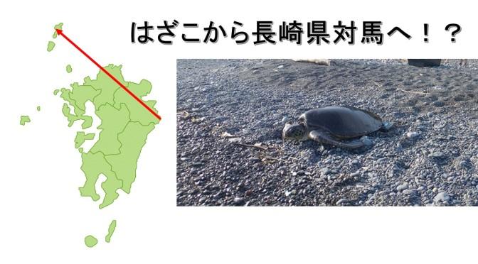 アオウミガメが長崎対馬上県町で再発見!!