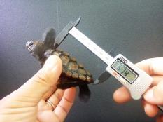 ウミガメの身体計測